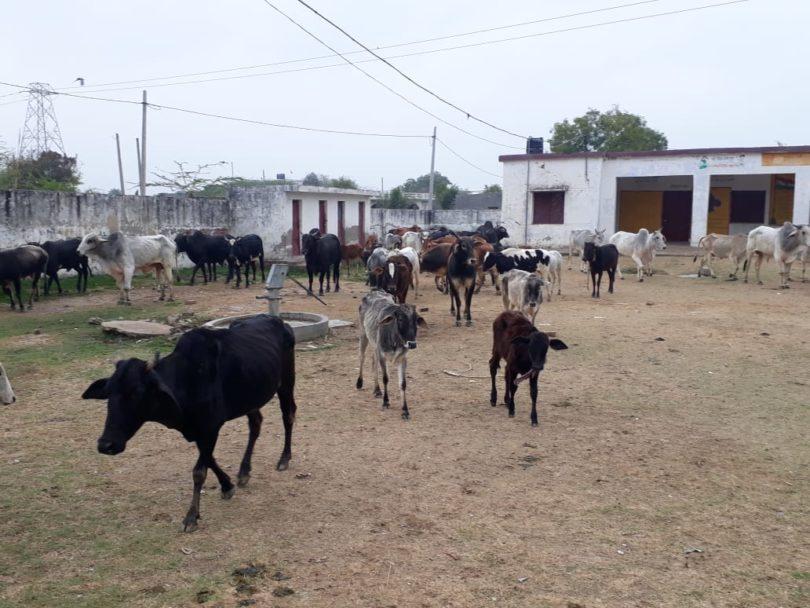 किसानो ने परेशान होकर आवारा जानवरों को किया स्कूल में बंद